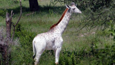Omo, a snow-white, 15-month-old giraffe, has a rare condition called leucism.