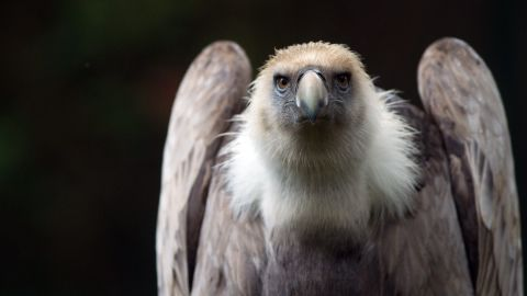 """A griffon vulture, like the one held in Lebanon. In a similar incident in 2011, officials in Saudi Arabia 'detained' a vulture on suspicion of being an Israeli spy, according to<a href=""""http://www.israelnationalnews.com/News/News.aspx/141529#.VqjQZ_mLRhE"""" target=""""_blank"""" target=""""_blank""""> Israel's Maariv-NRG news site.</a> It was also carrying a GPS transmitter causing locals to suspect the worst."""