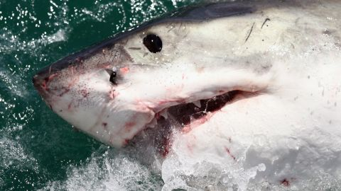 """A Great White Shark. In December 2010, a series of shark attacks near the Red Sea resort of Sharm el-Sheikh, Egypt left a<a href=""""http://edition.cnn.com/2010/WORLD/meast/12/06/egypt.shark.attack/""""> German woman dead and injured three snorkelers. </a>But an Egyptian official felt there were more to the attacks than met the eye. Mohamed Abdel Fadil Shousha, the regional governor, said it's not <a href=""""http://www.telegraph.co.uk/news/worldnews/africaandindianocean/egypt/8185915/Shark-sent-to-Egypt-by-Mossad.html"""" target=""""_blank"""" target=""""_blank"""">""""out of the question""""</a> that Israel could have planned the attacks to hit tourism in the country. <a href=""""http://www.bbc.co.uk/news/world-middle-east-11937285"""" target=""""_blank"""" target=""""_blank"""">Israel reportedly denied the claim. </a>"""