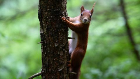 """In 2007, <a href=""""http://news.sky.com/story/526163/iranian-police-smash-squirrel-spy-ring"""" target=""""_blank"""" target=""""_blank"""">Iranian police believed that they had smashed a spy ring </a>-- of 14 squirrels. According to the official Republics News Agency, the rodents were equipped with eavesdropping devices. This picture shows a squirrel in Germany."""