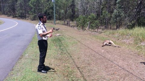 Tire marks show the driver swerved to hit kangaroos on both sides of the road.