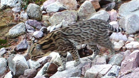 One of the three ocelots that roam in southern Arizona was captured on automatic wildlife cameras in 2014.