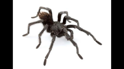 Aphonopelma johnnycashi is named for its stumbling grounds near California's Folsom Prison.