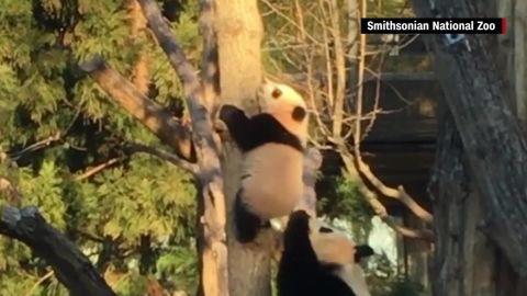 bei bei panda climbs tree orig mss_00000015.jpg
