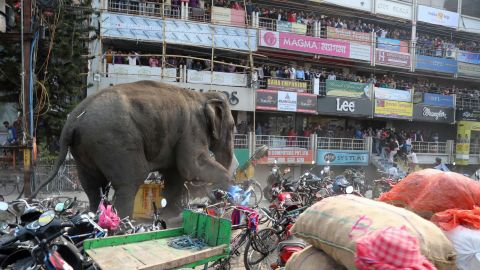 The elephant, with a tranquilizer dart in his back side, walks along a street in Siliguri.