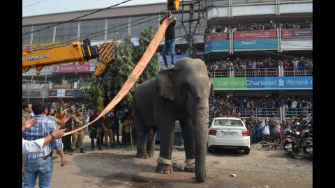 Wildlife officials use a crane to lift the elephant away.