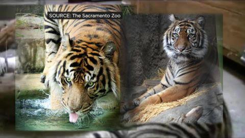 Tiger mate death pkg_00004118.jpg