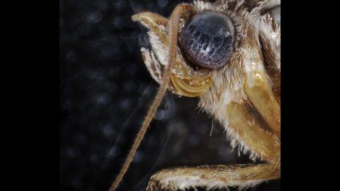 A forage looper moth
