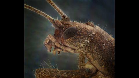 A scaly cricket