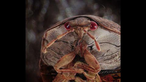 A Kudzu bug