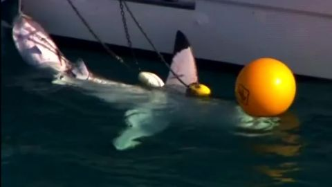 australia shark 10 foot 3 meter shark queensland pkg atkinson_00001612.jpg
