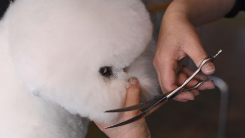 A bichon frise is groomed during the first day of competition. Dogs are invited to compete based on strict entry requirements, including how many other dogs they've defeated in breed competitions.