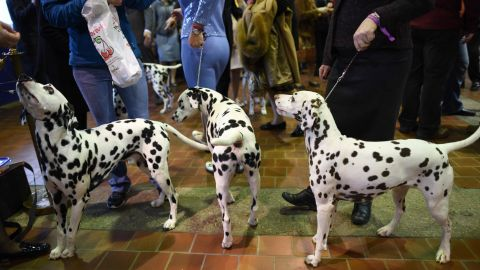 """A group of dalmatians waits in the judging area. The show is """"benched,"""" meaning the dogs must be on public display to ticket-holders throughout the competition."""