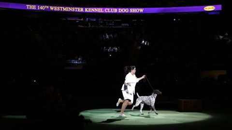 California Journey, or CJ for short, takes a lap around the ring during the competition. The Westminster dog show is the second-oldest continuous sporting event in the United States, after the Kentucky Derby.