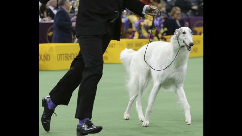 Lucy, a Borzoi, is shown in the ring during the Hound group competition on Monday, February 15.