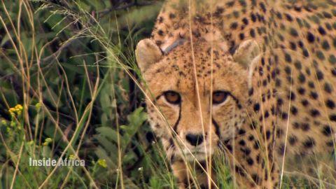 namibia cheetahs inside africa a spc_00003207.jpg