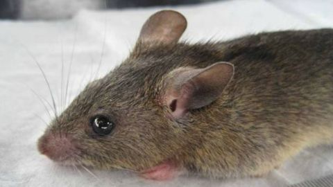 """The lassa fever is mainly spread by contact with the """"multimammate rat."""" Human to human transmission is also possible."""