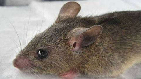 """The """"multimammate rat"""" is a reservoir for infections and spreads the virus to humans through its urine or faeces, which people may breathe in, or consume, from contaminated food and surfaces within their homes -- particularly during the dry season."""