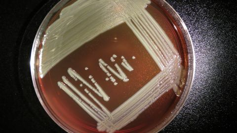 Elizabethkingia anophelis grows on a blood agar plate. It doesn't commonly cause illness in humans
