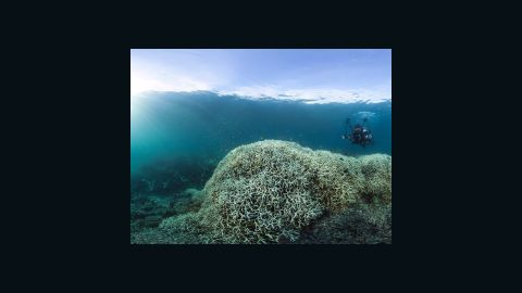 """Bleaching occurs when the marine algae that live inside corals die. Of the reefs surveyed in the northern third of the Great Barrier Reef, 81% are characterized as """"severely bleached."""""""