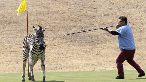 Unable to corral it, veterinarians had to shoot the zebra with tranquilizer darts.