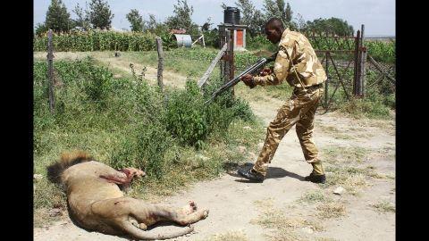 A ranger of Kenya Wildflife Serive aims his gun at a lion on March 30.