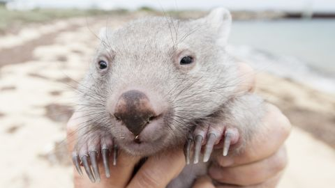 Tourism Australia is holding an in internet contest (open only to Australian residents) for a to Flinders Island for 2-adults and cuddle time with Derek the Wombat, an 8-month old Wombat that was rescued from his mothers pouch after she was hit by a car in December 2015 and is under the care of a woman named Kate Mooney who lives on Flinders Island.Mandatory courtesy: Sean Scott Photography courtesy of Tourism Tasmania