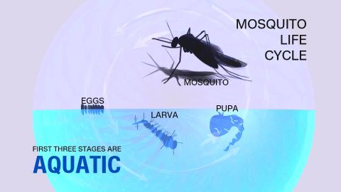 A mosquito needs standing water to complete its reproductive cycle.
