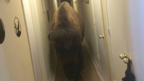 Bullet the bison grew accustomed to roaming the halls of her former owner's home.