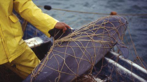 A vaquita killed in a gillnet near El Golfo de Santa Clara, Sonora, Mexico.