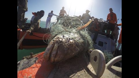 A totoaba that died caught in a smuggler's net.