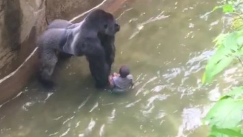 boy falls into gorilla habitat pkg nr_00005109.jpg