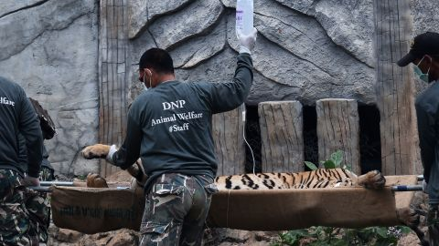 Thai wildlife officials carry a tiger on a stretcher from the temple.