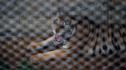 The temple is home to 137 tigers. A wildlife official said when they finally entered the compound, monks had left the cages open and unchained the tigers to stall their removal.