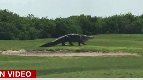 giant alligator golf course clip newday_00002304.jpg