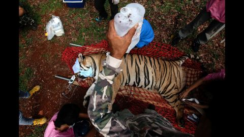 """Veterinarian officers with Thailand's Department of National Parks, Wildlife and Plant Conservation tend to a sedated tiger at the controversial """"Tiger Temple"""" in Kanchanaburi province on Wednesday, June 1. <a href=""""http://www.cnn.com/2016/06/01/asia/thailand-tiger-temple-cub-bodies-found/"""">Authorities raided the compound </a>over concerns about the welfare of the animals and complaints from tourists."""