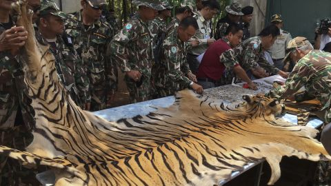 """National Parks and Wildlife officers examine a tiger  skin at the """"Tiger Temple,"""" west of Bangkok, Thailand on Thursday, June 2. Thai police say they stopped a truck carrying two tiger skins and other animal parts as it was leaving the temple. Two staff members were arrested and charged with possession of illegal wildlife."""