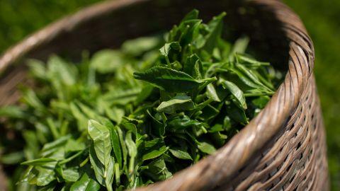Freshly picked tea leaves.