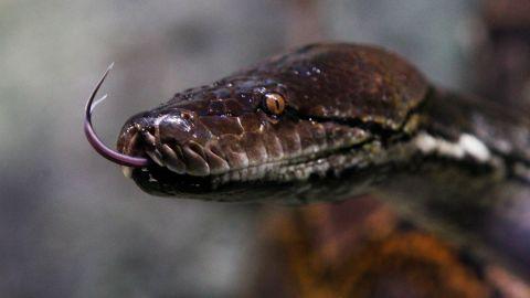 The python runs wild with no natural predators in the Florida Everglades.