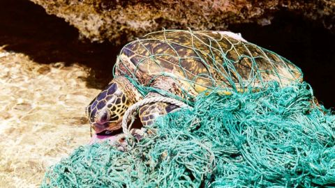 Endangered species such as sea turtles could be driven to extinction by the plastic plague.