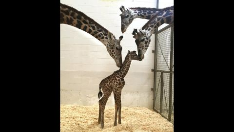 The baby giraffe gets some love from mom, left, and two other females from the Cincinnati Zoo.