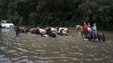 Cattle are driven through a flooded road in Sorrento as they are herded to trucks on August 16.
