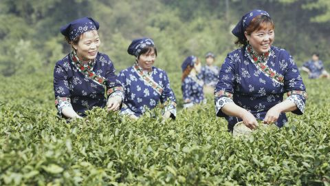 Tea pickers in the outskirts of Hangzhou of Zhejiang Province, China.