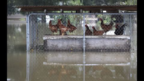 Flooding affects a chicken coop in Sorrento on August 17.