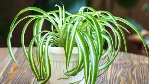"""Chlorophytum comosum, a kind of spider plant, can take up more than 90% of <a href=""""https://pubchem.ncbi.nlm.nih.gov/compound/o-xylene#section=Use-and-Manufacturing"""" target=""""_blank"""" target=""""_blank"""">o-Xylene, found in fuels</a>, and <a href=""""https://pubchem.ncbi.nlm.nih.gov/compound/p-xylene#section=Use-and-Manufacturing"""" target=""""_blank"""" target=""""_blank"""">p-Xylene, found in plastic and rubber products</a>. Smokers may also want to keep this plant around: Over a few days, it can absorb 90% of formaldehyde and carbon monoxide, ingredients of cigarette smoke."""