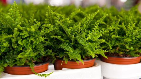 """If the air in your home is too dry, you may want to get some ferns. These plants are <a href=""""http://journals.usamvcluj.ro/index.php/promediu/article/view/9953"""" target=""""_blank"""" target=""""_blank"""">good at increasing air humidity</a>."""