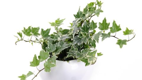 """Another plant for cigarette smokers or those who are sensitive to smoke: hedera helix, or English ivy. It is also <a href=""""http://journals.usamvcluj.ro/index.php/promediu/article/view/9953"""" target=""""_blank"""" target=""""_blank"""">recommended for those who have asthma</a>."""