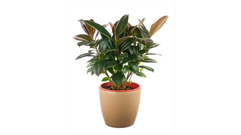 """If your house smells, invest in a ficus elastica. The plant <a href=""""http://journals.usamvcluj.ro/index.php/promediu/article/view/9953"""" target=""""_blank"""" target=""""_blank"""">absorbs odors and reduces the number of microorganisms and the amount of toxic substances</a>."""