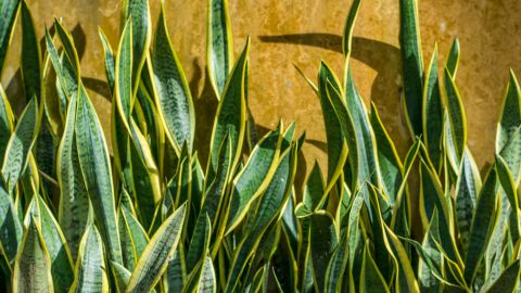 """If you're still decorating your bedroom, it's not too late to buy sansevieria trifasciata, or snake plant. It<a href=""""http://journals.usamvcluj.ro/index.php/promediu/article/view/9953"""" target=""""_blank"""" target=""""_blank""""> removes benzene and formaldehyde in the air and produces the greatest amount of oxygen at night</a>."""