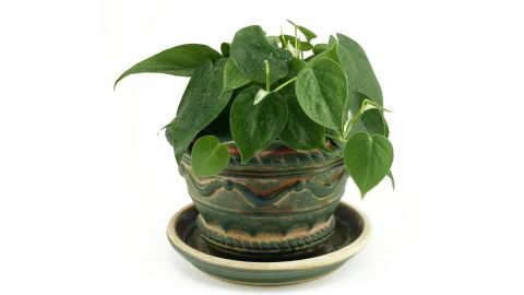 """Philodendron scandens is <a href=""""http://journals.usamvcluj.ro/index.php/promediu/article/view/9953"""" target=""""_blank"""" target=""""_blank"""">effective in taking out formaldehyde</a>, commonly found in cleaning products and gas stoves."""